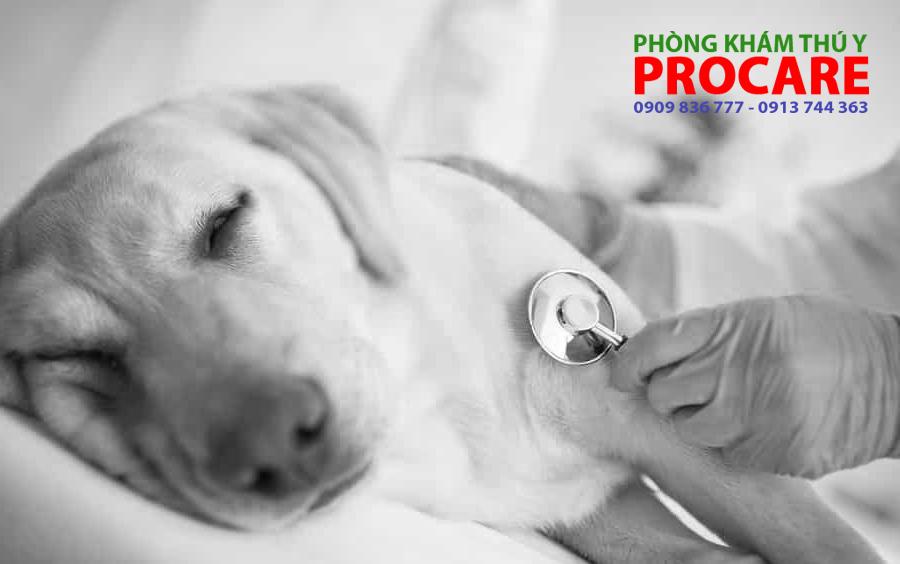 Bệnh care ở chó có chữa được không