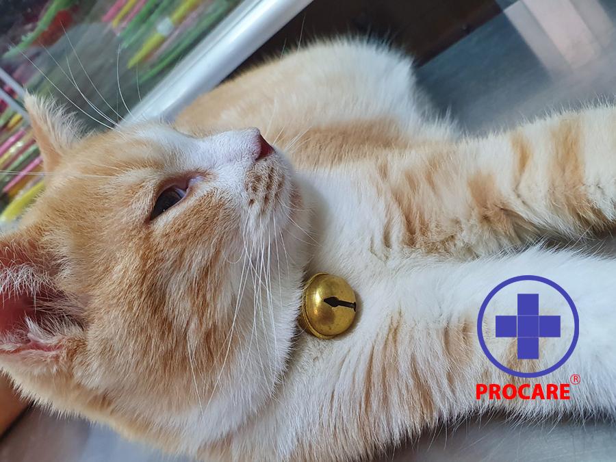 các bênh siêu vi ở mèo